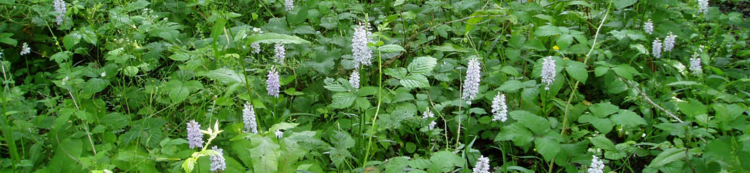 Wild orchids in woodland